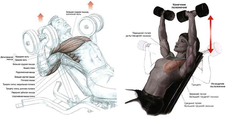 Накачать грудные мышцы в домашних условиях женщине фото