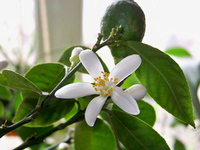 Чем подкормить лимон во время цветения в домашних условиях