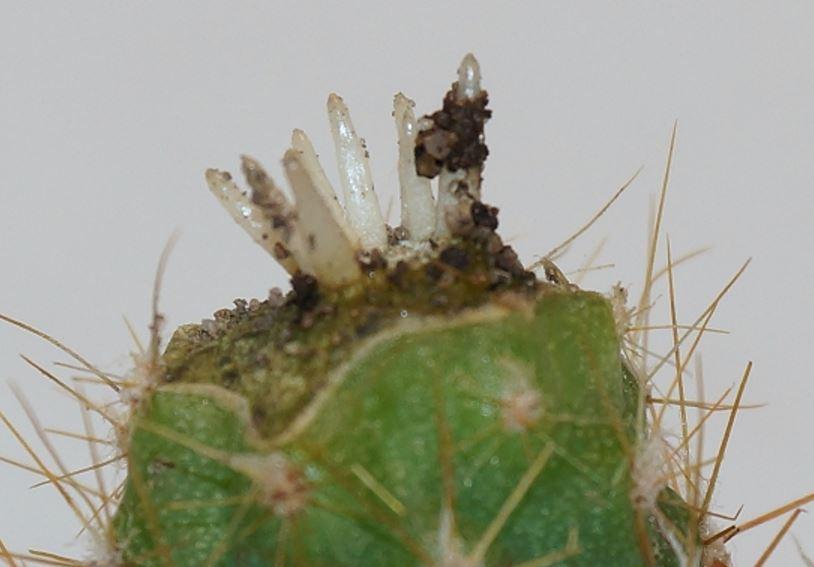 Как сажать кактусы без корней 52