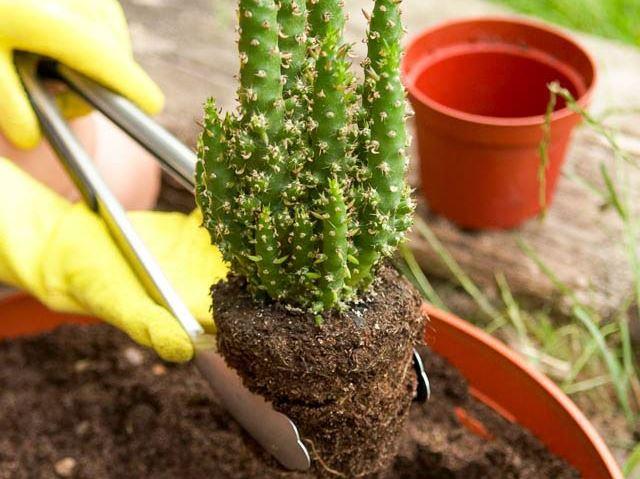 Как пересадить в домашних условиях кактусы