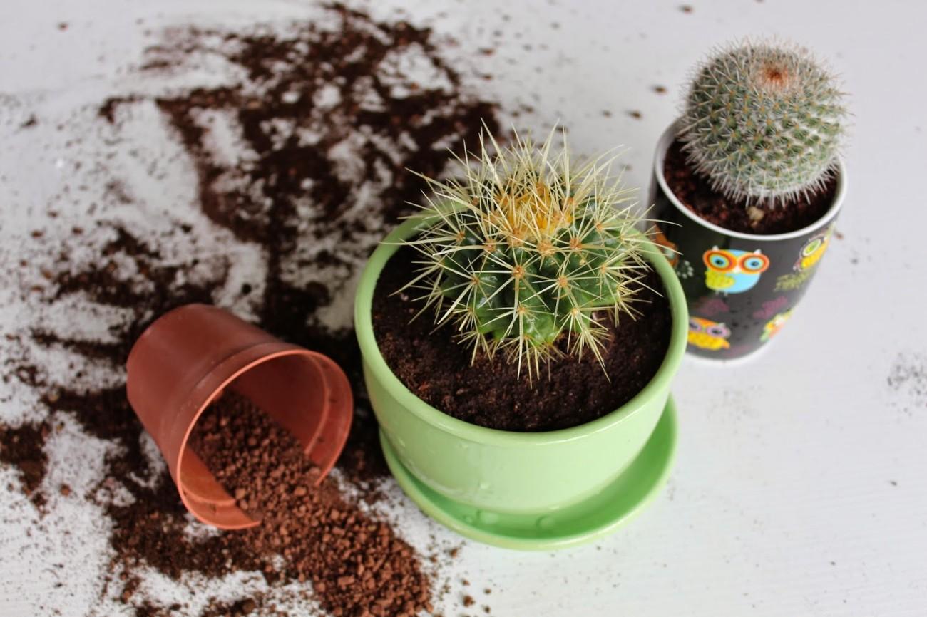 Как пересадить кактус. Пересадка кактусов. Пересадка кактусов в домашних условиях.