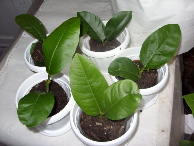 Размножение лимона черенками 61