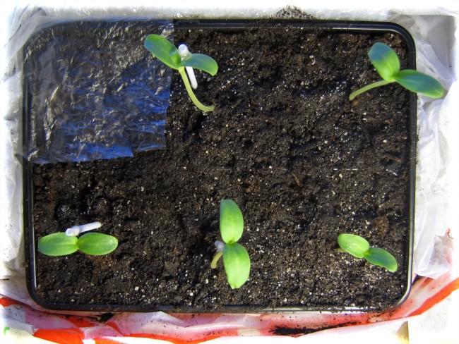 Выращивание арбуз из семян в 351
