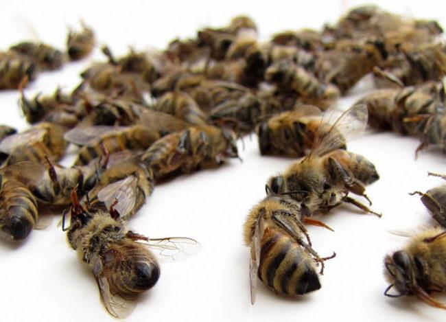 Пчелиный подмор лечение и как принимать при различных заболеваний