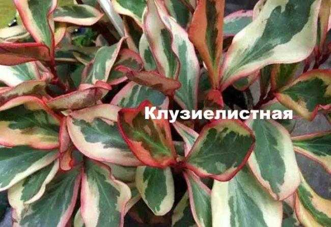 Цветок пеперомия комнатная: описание, фото. Выращивание пеперомии в домашних условиях: правила посадки, уход, размножение